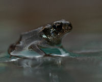 European toad, Bufo bufo 15 mm baby. In Sweden, sitting in water royalty free stock photo