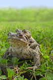 European toad frogs Stock Image