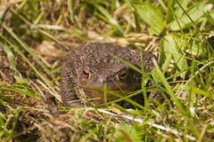 European toad Royalty Free Stock Photography