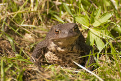 European toad Stock Images