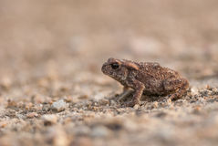 European toad Stock Photo