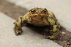European toad Royalty Free Stock Photos