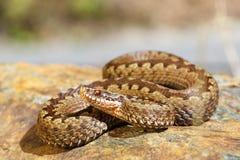 European toxic snake, common adder. Basking on a rock Vipera berus royalty free stock photo
