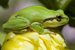 European tree frog Royalty Free Stock Image