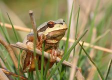 European tree frog Stock Photography