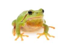 European tree frog 2. European tree frog isolated on white background Stock Photo