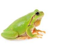 European tree frog. Isolated on white Royalty Free Stock Photos