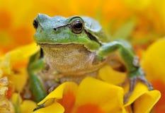 European tree frog. A green european tree frog (Hyla arborea) sitting on a yellow flower Royalty Free Stock Photos