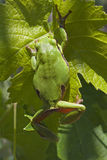 European Tree Frog Stock Images
