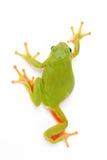European tree frog 3. European tree frog isolated on white background Royalty Free Stock Image