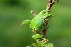 European tree frog. Royalty Free Stock Images