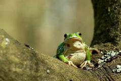 European tree frog. Stock Photography