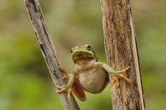 The European tree frog Royalty Free Stock Photos