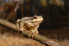 The European tree frog Stock Image