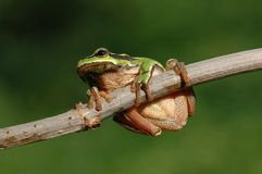 The European tree frog Stock Photo