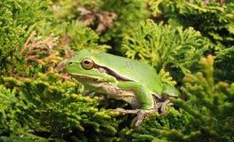 European tree frog on chinese juniper bush Stock Photography