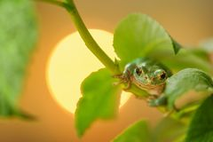 European tree frog climbing on raspberry with sun in background Royalty Free Stock Photos