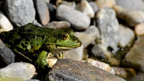 European Tree Frog stock video footage
