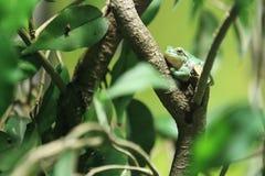 European tree frog. On the leaf Royalty Free Stock Photos