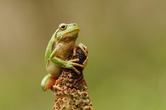 The European tree frog Royalty Free Stock Image