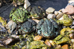 European Tree Frog Royalty Free Stock Photography