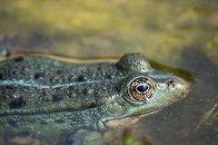 European Tree Frog Stock Image
