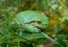 European tree frog on a green leaf. Close up of european tree frog (Hyla arborea) sitting on a green leaf stock images