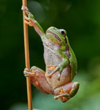 European tree frog hanging on a straw. Close up of european tree frog (Hyla arborea) hanging on a straw royalty free stock photos