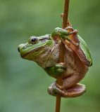 European tree frog hanging on a straw. Close up of european tree frog (Hyla arborea) hanging on a straw stock photography