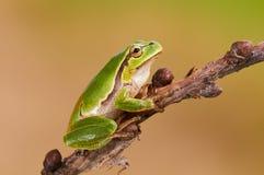 European tree frog Royalty Free Stock Photo