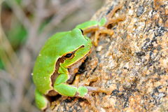 European tree-frog (Hyla Arborea) Royalty Free Stock Photography