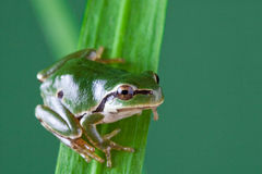 European tree frog. hyla arborea Stock Photos