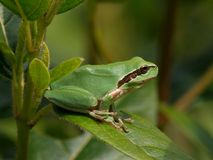 European tree frog, hyla arborea Royalty Free Stock Image