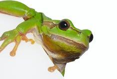 European tree frog (Hyla arborea). On white background Royalty Free Stock Photography