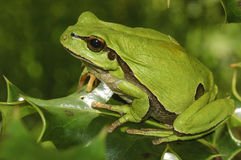 European tree frog (Hyla arborea). On a branch of holly Royalty Free Stock Image