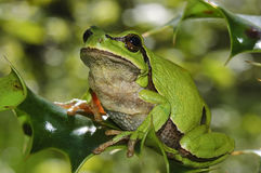 European tree frog (Hyla arborea). On a branch of holly Royalty Free Stock Photography