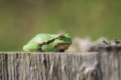 European tree frog - Hyla arborea. At sunbathing - macro shot - side view royalty free stock photography