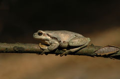 European tree frog (Hyla arborea formerly Rana arborea) Stock Image