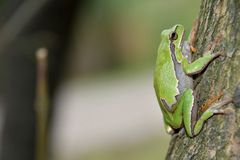 Hyla arborea. European tree frog Hyla arborea/orientalis from Romania stock photos