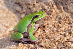 European tree-frog Hyla Arborea Royalty Free Stock Images