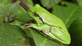 European tree frog. Hyla arborea in a side view stock video footage