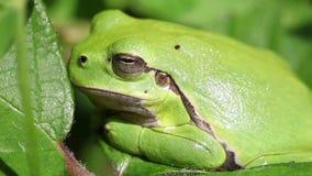 European tree frog - Hyla arborea. In a side view - super macro shot stock video