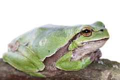 European tree frog Hyla arborea Royalty Free Stock Photo