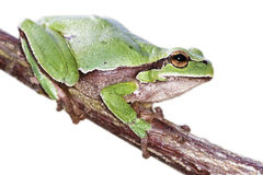 European tree frog Hyla arborea Stock Photo