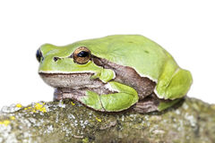European tree frog Hyla arborea. On a solid white background stock image