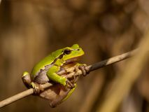 European tree frog Hyla arborea on stem with brown background Royalty Free Stock Image