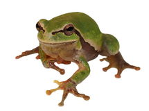 European tree frog isolated on white Royalty Free Stock Images