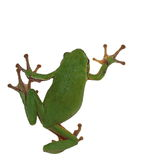 European tree frog isolated on white Stock Images