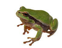 European tree frog on leaf isolated on white Royalty Free Stock Photos