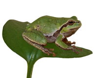 European tree frog on leaf isolated on white backg Stock Images